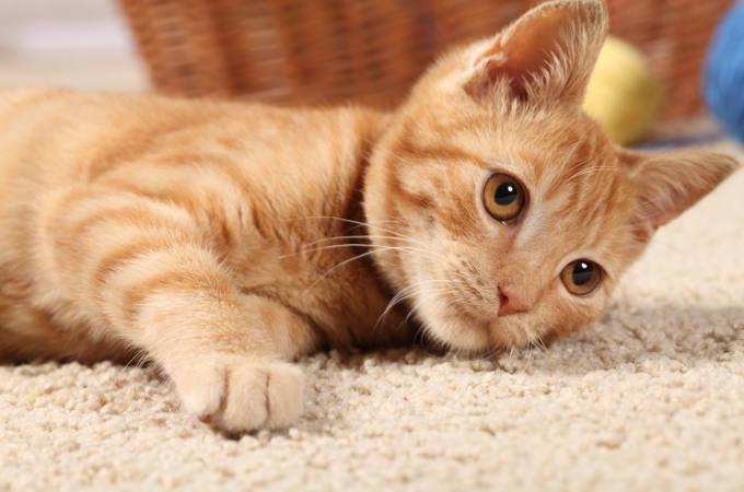Choosing a pet friendly carpet