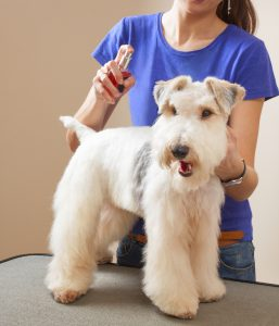 barber sprays fox terrier