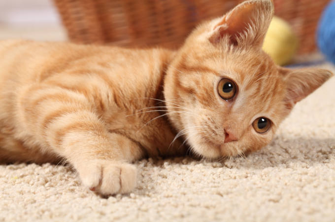 Choosing a pet friendly carpet